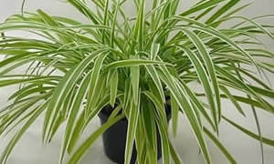 Spider Plant cure for Indoor Airpolution